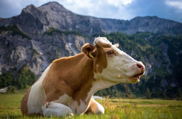 Белые выделения у коровы, желтые выделения у коровы (фото)