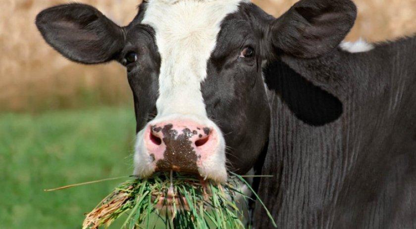Корова ест траву
