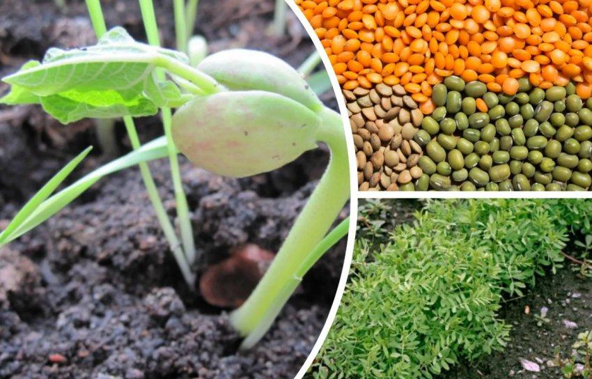 Проращивание чечевицы
