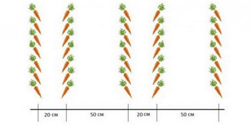 Схема посева моркови