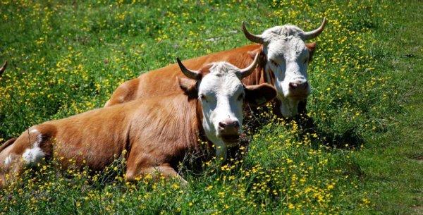 Гиподерматоз крупного рогатого скота: причины, симптомы, диагностика и лечение