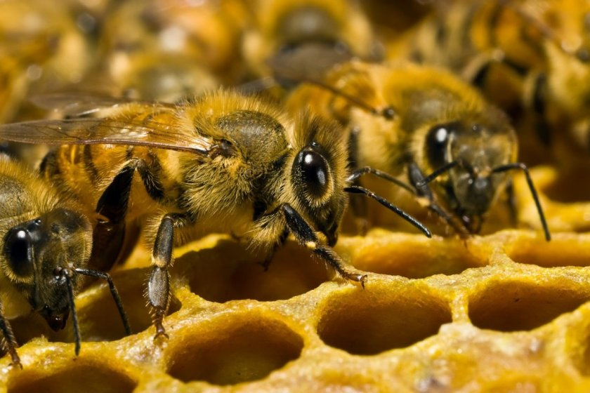 Пчёлы-фуражиры