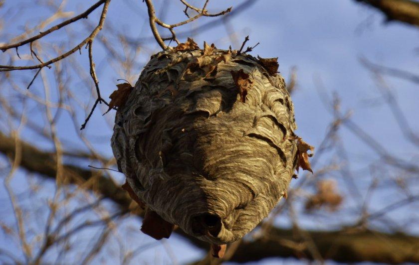 Где зимуют шершни, живущие под крышей