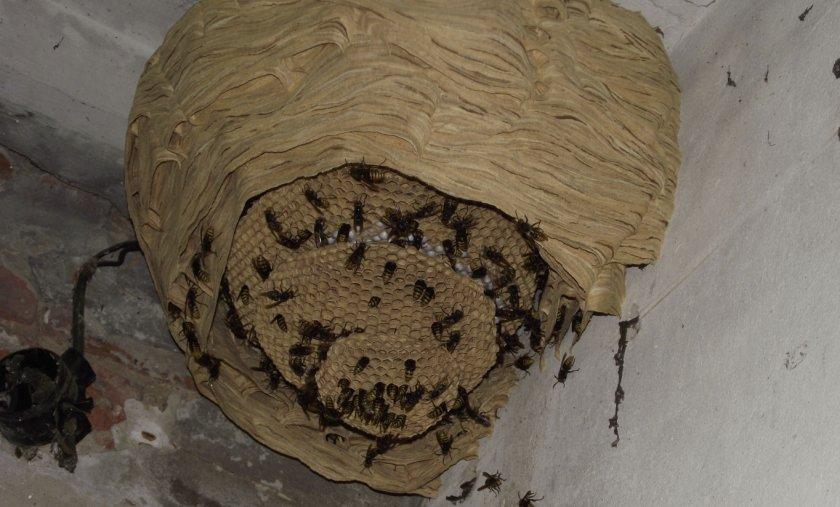 Гнездо шершней под крышей
