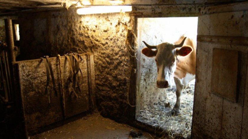 Корова находиться в спокойной атмосфере