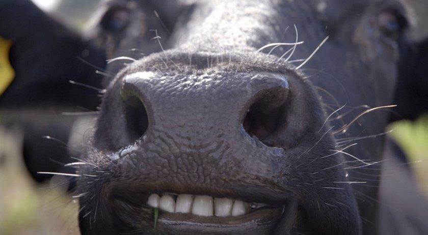 Сколько зубов у коров - Знай ферму