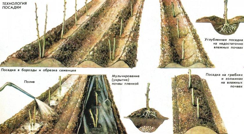 Технология посадки штамбовой малины