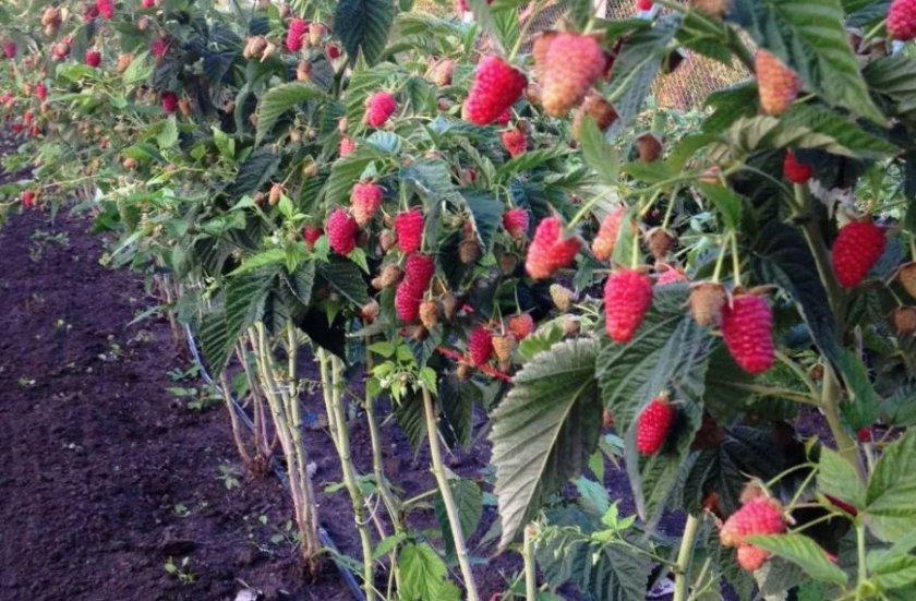 Плодоношение малины Терентий
