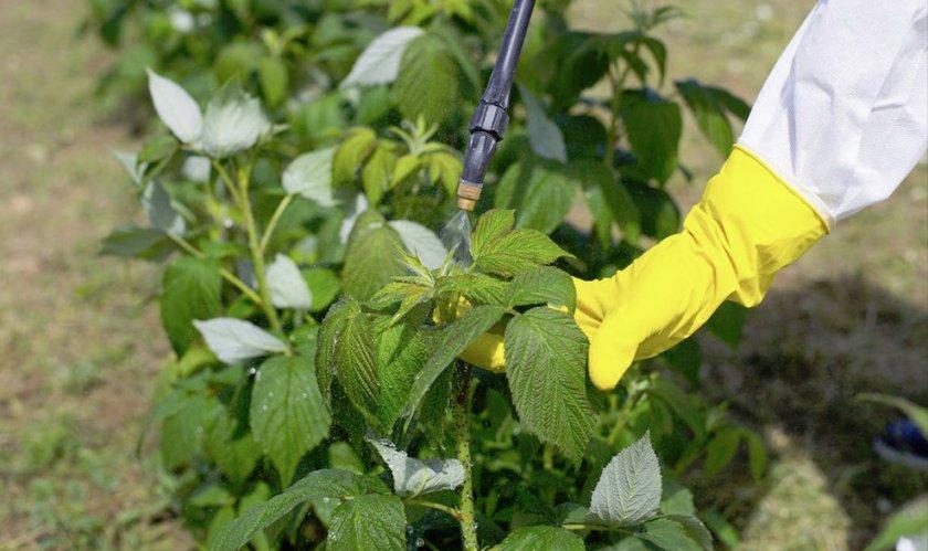Опрыскивание малини от болезней и вредителей