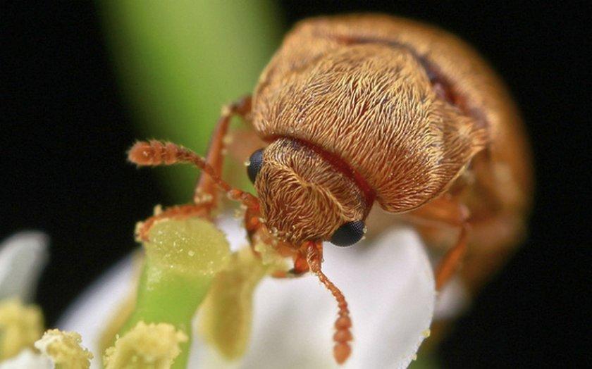 Малинный жук на соцветии