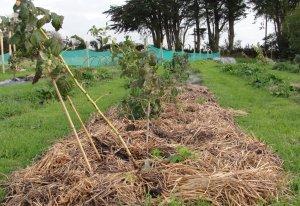 Ремонтантная малина - посадка уход и выращивание