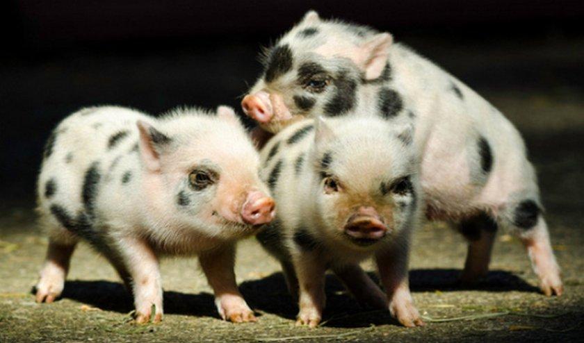Миниатюрная цветная свинка