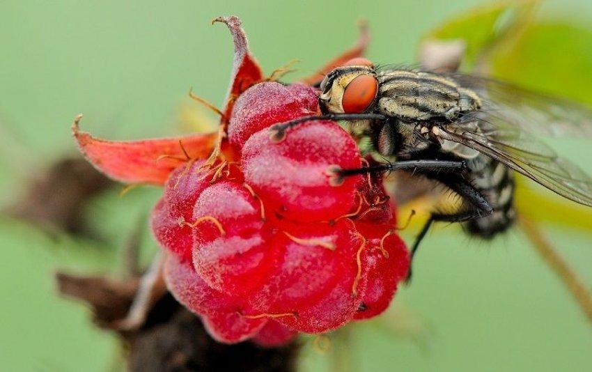 Малиновая муха
