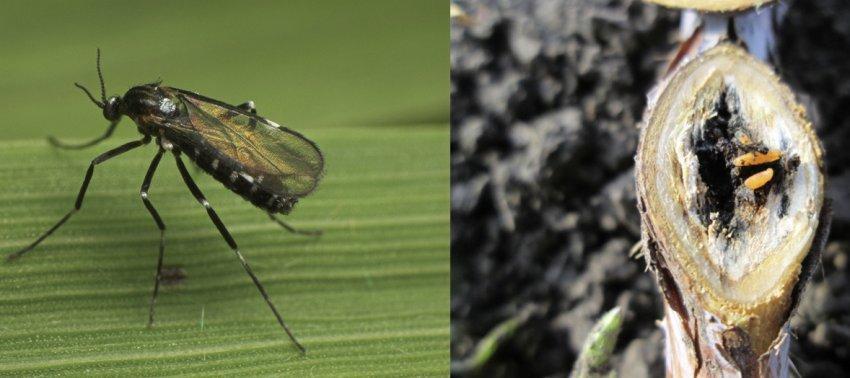 Малиновый комарик