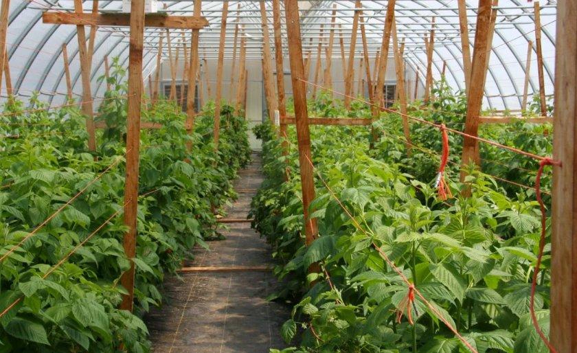 Выращивание малины в теплицы