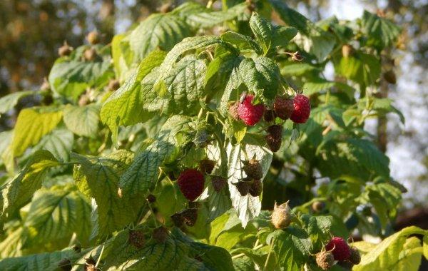 Как выращивать малину в открытом грунте