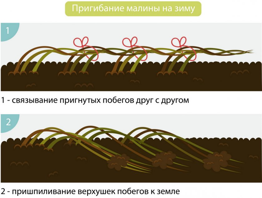 Схема пригибания малины на зиму