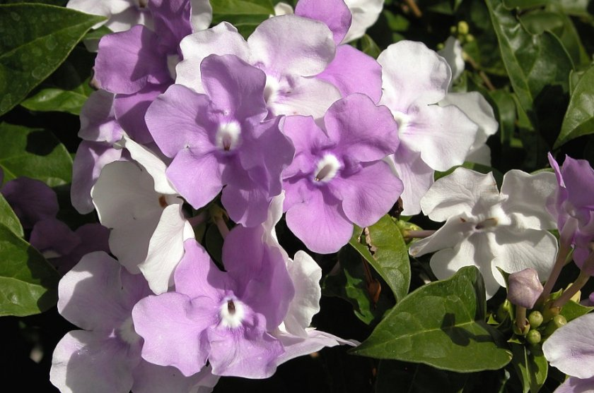 Брунфельсия крупноцветковая