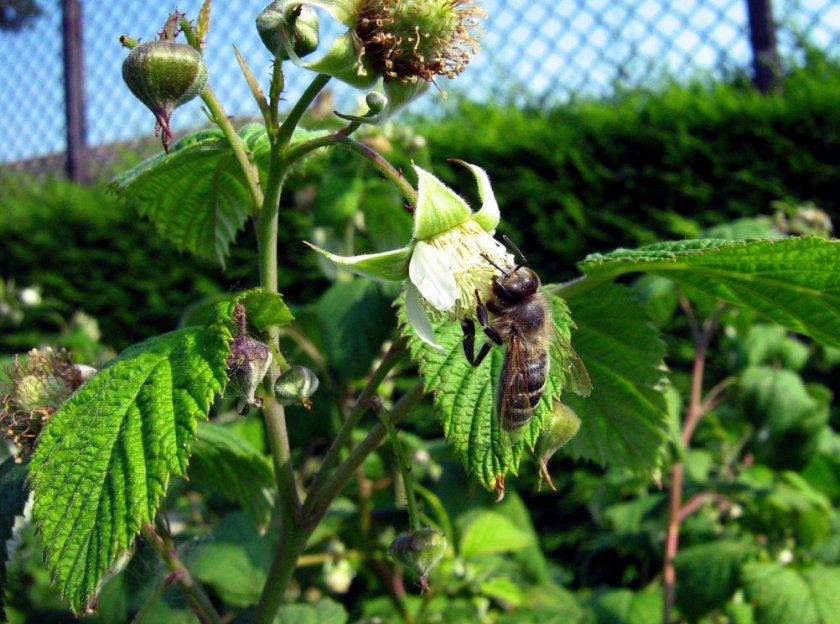 цветок малины фото кузнецов