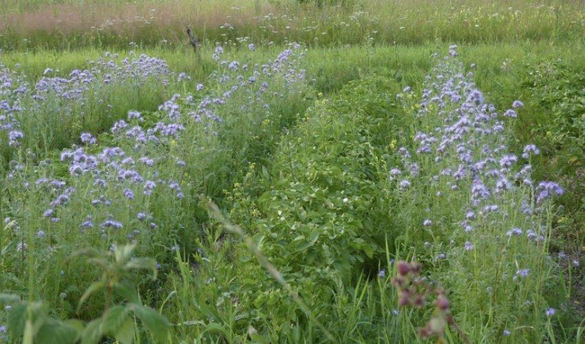 Сидераты для восстановления почвы