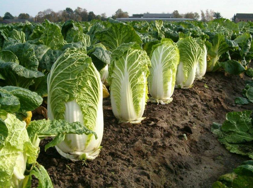 Житомирское хозяйство внедряет промышленное выращивание пекинской капусты