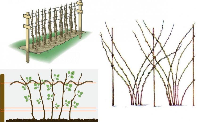 Способы однополосных шпалер для кустов малины