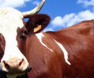 Сибирская язва крупного рогатого скота: симптомы и лечение, вакцина