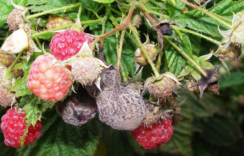 Серая гниль на плодах малины