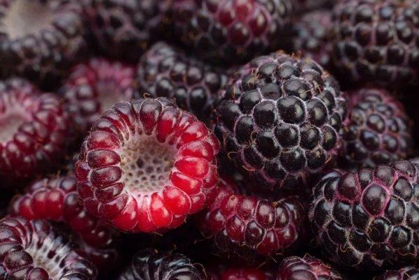 Ежемалина Логанберри: описание сорта, преимущества и недостатки, урожайность, фото