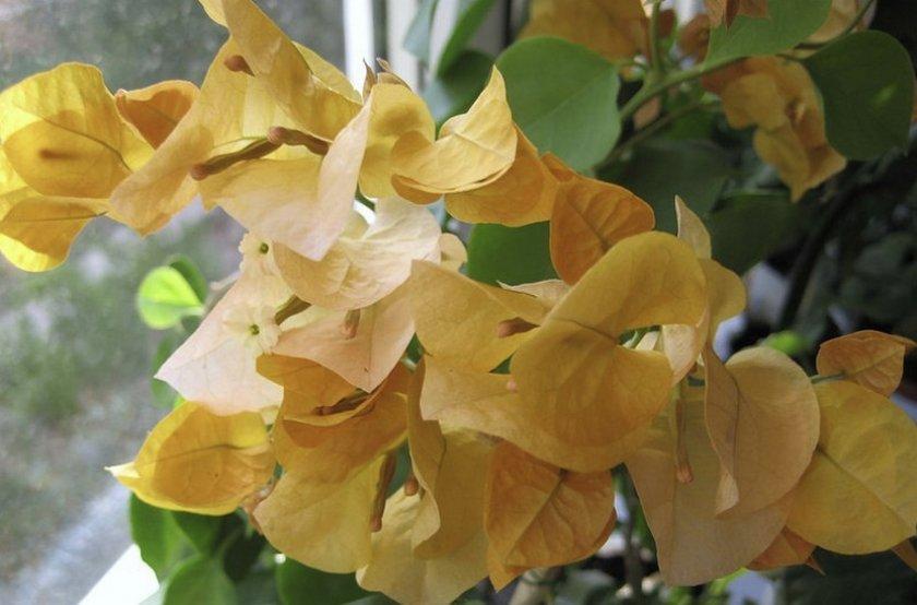 Bougainvillea California Gold