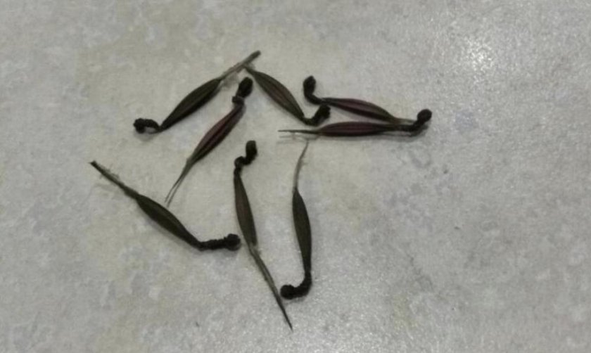 Семена бугенвиллии