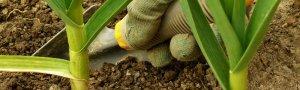 Почему в маринованных грибах позеленел чеснок