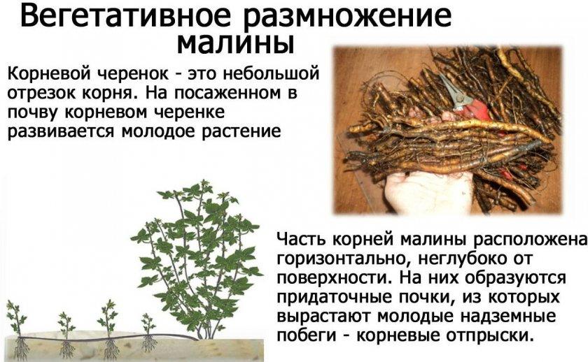 Размножение малины прикорневыми черенками
