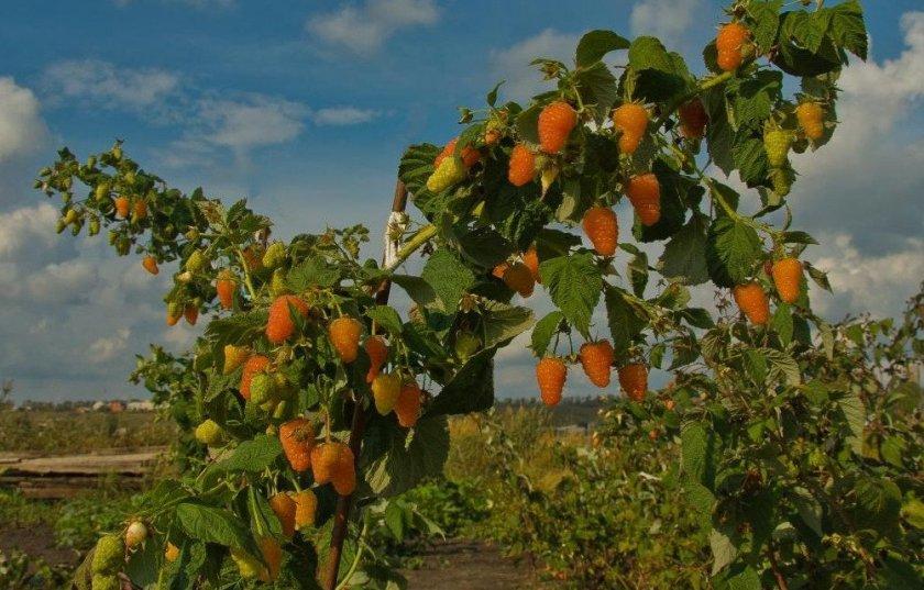 Сорта малины Оранжевое чудо