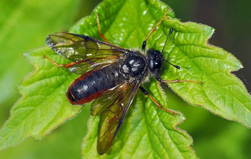 Стеблевая муха на малине