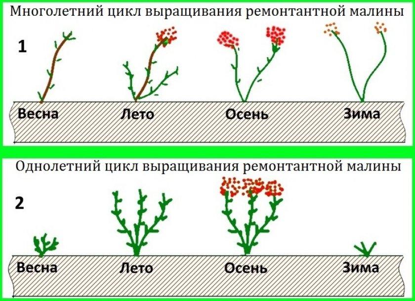 Цикл выращивания