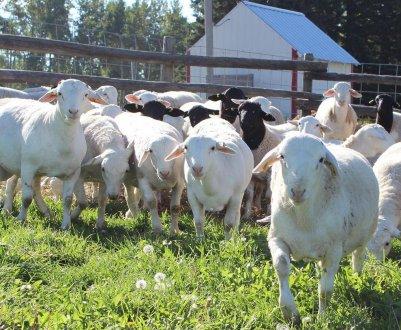 Овцы породы дорпер: особенности породы, описание