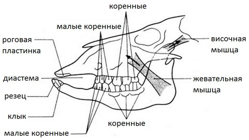 Строение челюсти овцы