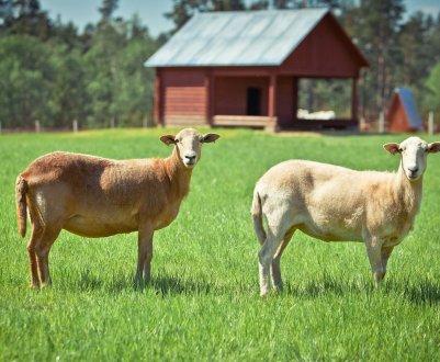 Катумские гладкошёрстные овцы: описание, достоинства и недостатки породы