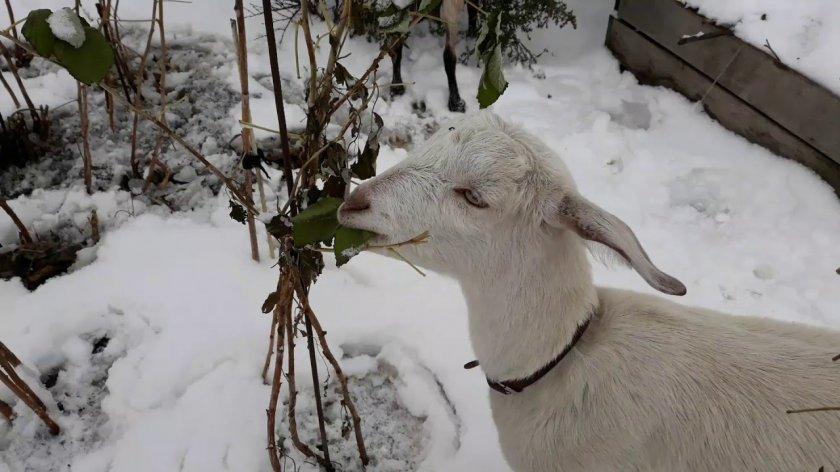 Прогулки коз зимой