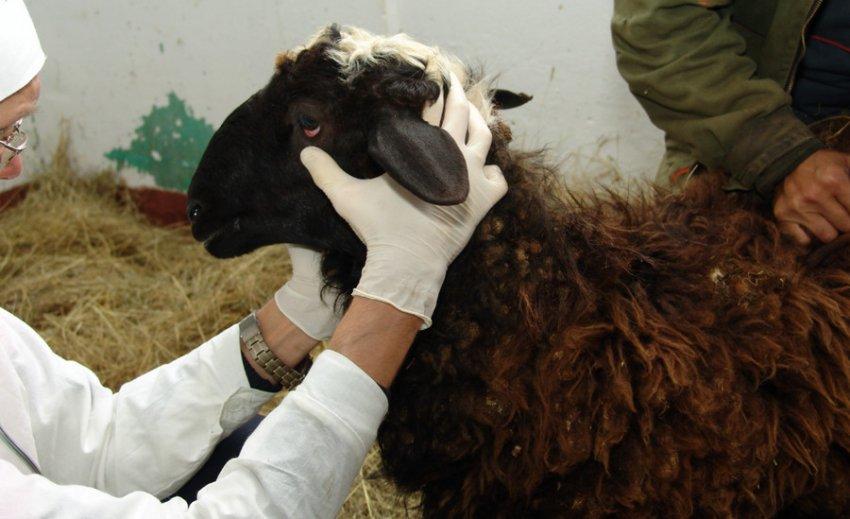 Ветеринарный осмотр овец