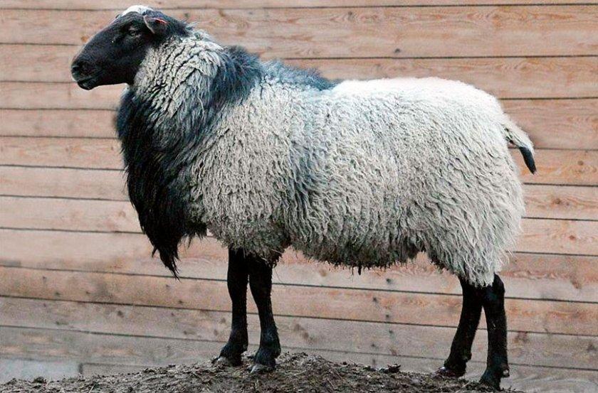Порода овец Романовская