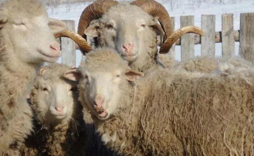 Овцы и бараны цигайской породы