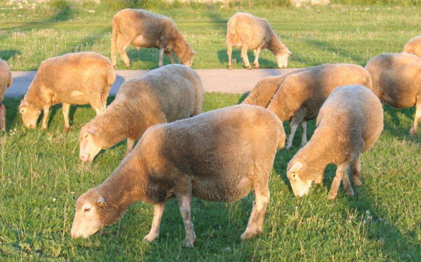 Выпас овец куйбышевской породы