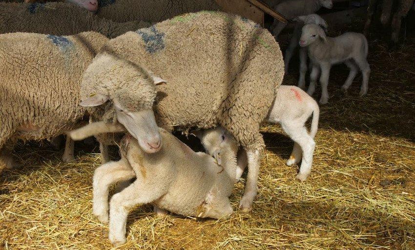 Куйбышевская овца с потомством