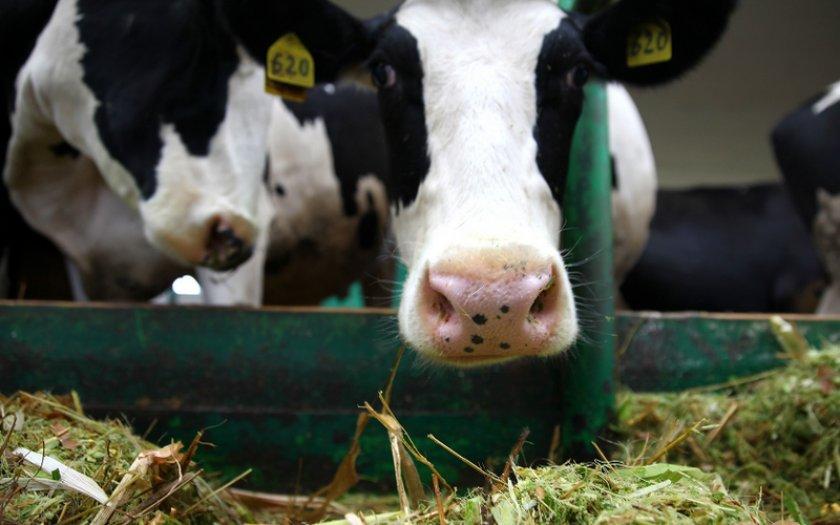 Питание коровы после отела