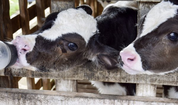 Заменитель молока для телят плюсы и минусы