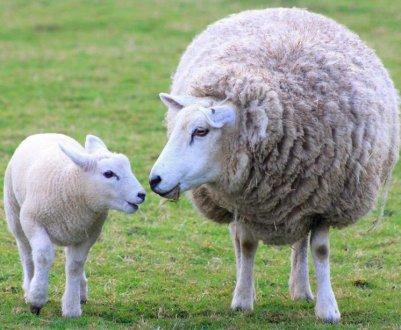Как правильно размножать овец: половая зрелость и цикл у овец, случка, как узнать когда овца в охоте