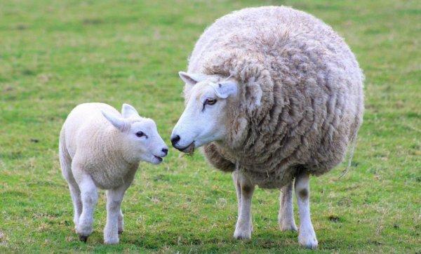 Сколько месяцев длится беременность у овец
