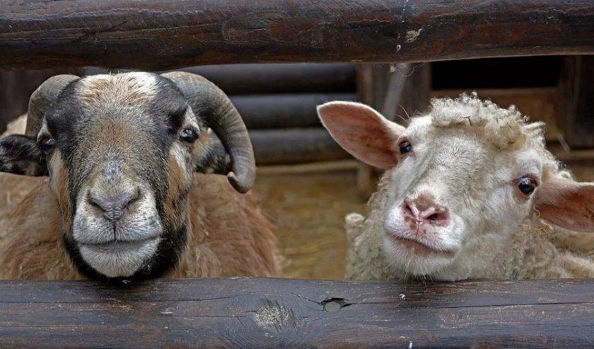 Репродуктивный возраст овцы и барана